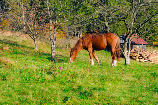 A young red horse is grazing in the meadow.