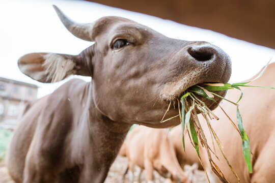 close up of cow's mouth chewing while eating grass inside the cow pen