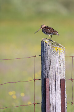 A Wilson's Snipe perches on a fence post at Carden Alvar Provincial Park in Ontario, Canada.