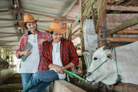 Close up of girl and boy smile wearing casual clothes while feeding cows with grass against the background of the cow farm shed