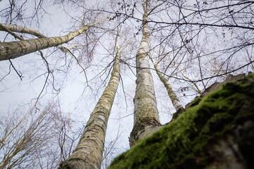 Krzywe drzewa w Kaliszu