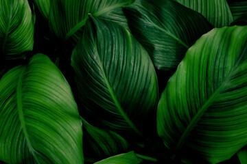 Fototapeta Tropical green foliage leaf on dark background in natural rain forest. obraz