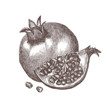 Hand drawn sketch style pomegranate. Pomegranate on a branch. Vector sketch style illustration.