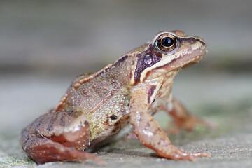 Wall Murals Frog Closeup of a subadult European common brown frog , Rana temporaria in the garden