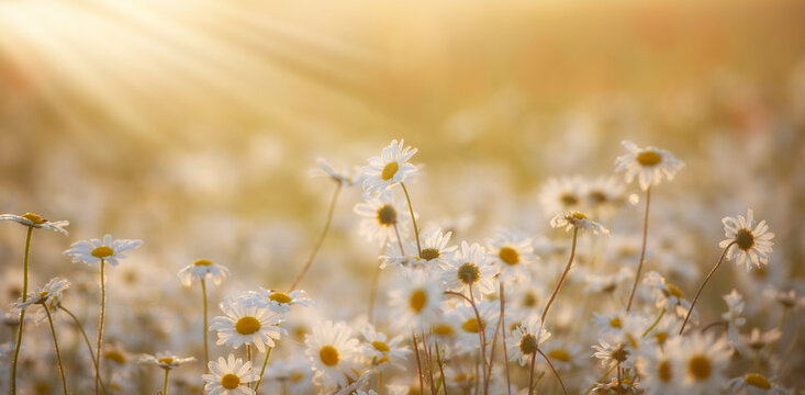 Beautiful blossoming daisies over summer meadow