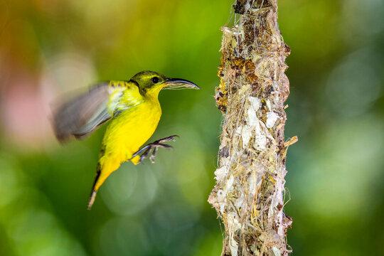 Female Sunbird Nest Building