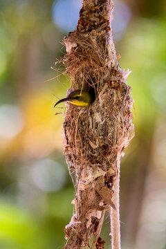 Female Sunbird on Her Nest
