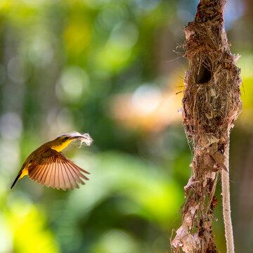 Female Sunbird with Nesting Material
