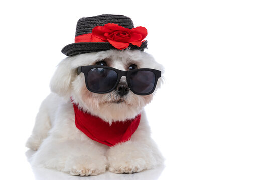cute bichon dog looking away over sunglasses