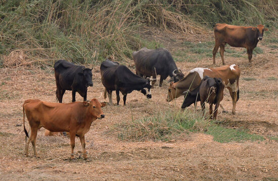 Group of of brown and black cows standing on the Nile bank.