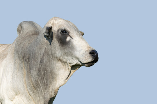 Nelore cattle on blue sky background. Cattle concept. Fattening cattle. Space for text.