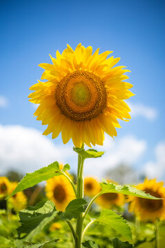Single Sunflower with blue sky background