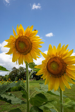 Two Sunflowers with blue sky background