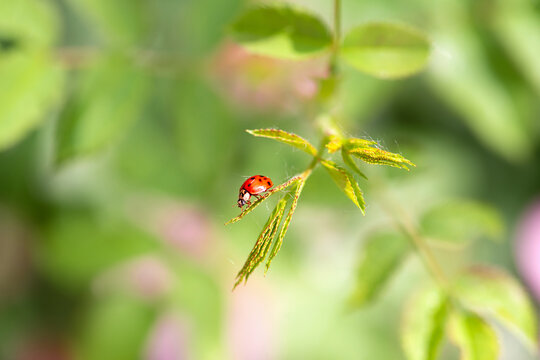 Ladybug sitting on green leaf on a sunny spring or summer day, clean environment eco background with insect on fresh juicy tree foliage close-up, beautiful nature and macro world