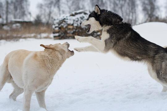 golden Retriever and husky