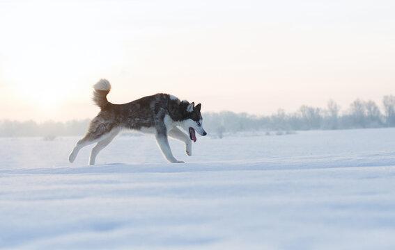 husky dog walking