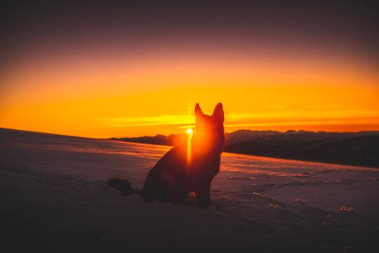 German shepherd dog on the snow at the sunset, golden hour, winter time, dog in winter, winter wonderland