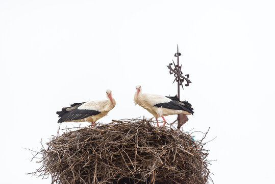 Una pareja de cigüeñas blancas de pie en su nido de ramas sobre el campanario de una iglesia rural. Tomada en Castañares, Burgos, en febrero de 2021