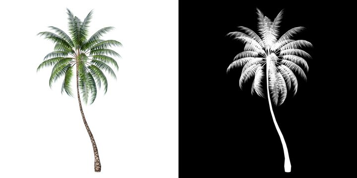 Front view of Plant ( Coconut Palm  1) Tree png with alpha channel to cutout made with 3D render