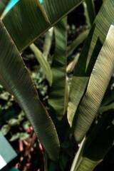 Liście rośliny tropikalnej, piękne zielone naturalne tło, tekstura.