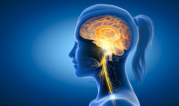 Brain with activated vagus nerve, medically 3D Illustration