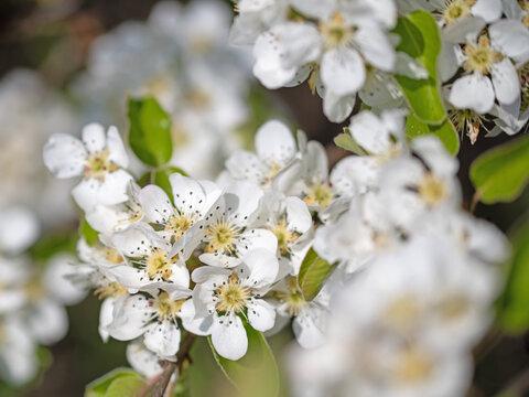 Blühende Birne, Pyrus, im Frühling