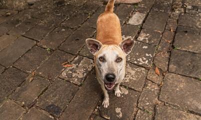 Piękne dzikie azjatyckie psy w świątyni na naturalnym tle.
