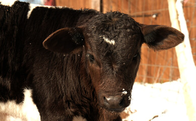 Wall Mural - Black calf close up in warmth of sunshine with winter snow in background.