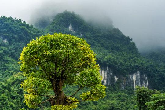 Blooming green tree among Zhanjiajie mountain scenery