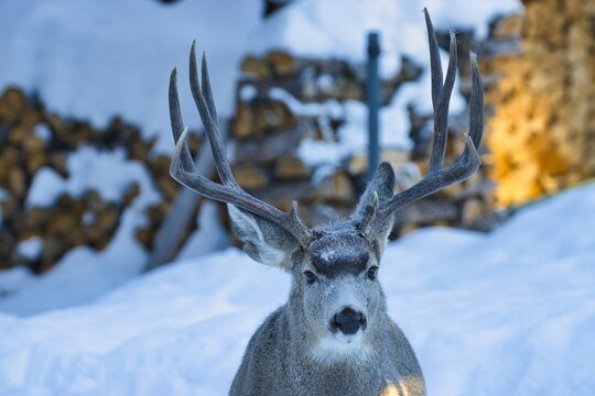 Impressive Yukon mule deer pose  near wood pile
