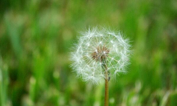 Dandelion Flower Spreading it's Seeds in the Wind