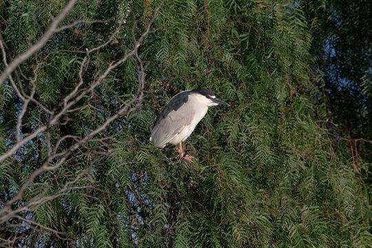 A night Heron roosting in a tree