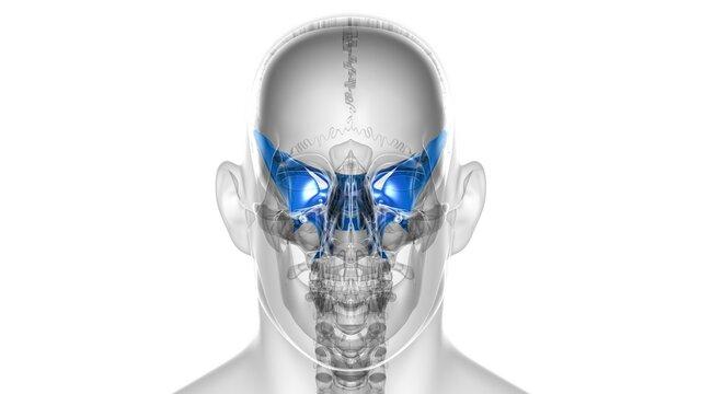 Human Skeleton Skull Sphenoid Bone Anatomy For Medical Concept