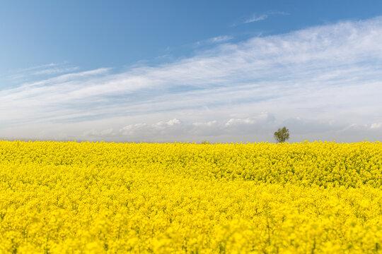 spring landscape of rapeseed flower fields