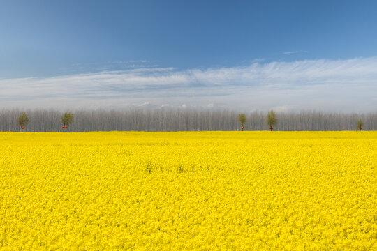 beautiful rapeseed flower fields in spring