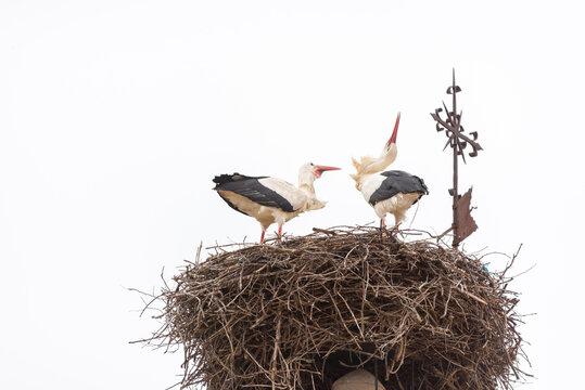 Una pareja de cigüeñas realiza sus movimientos y sonidos de cortejo o crotoreo sobre su nido en el campanario de una iglesia rural. Tomada en Castañares, Burgos, en febrero de 2021