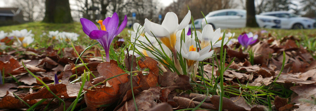 Purple and white crocuses between the fallen leaves. Blurred are some cars on a parking place.