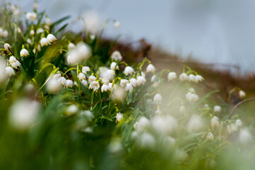 Śnieżyca wiosenna kwitnąca nad brzegiem jeziora solińskiego, Bieszczady, Solina, podkarpacie, spring snowflake