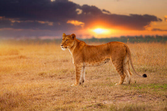 Lioness in the African savanna at sunset. Kenya.