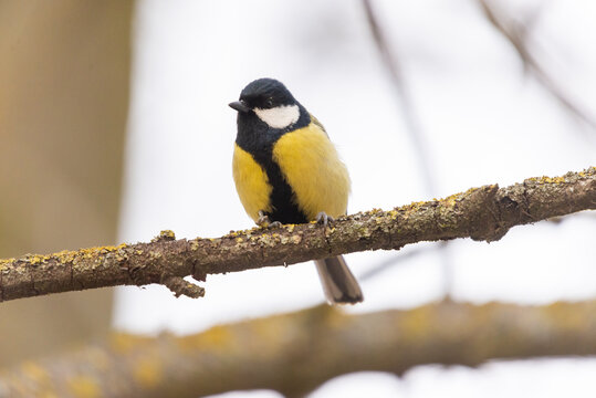 A great tit songbird perched on a lichen-covered branch