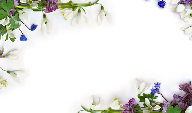 Spring decoration. Frame of flowers white snowdrops, blue scilla, violet pink hollowroot on a white background with space for text. Top view, flat lay