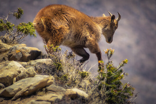 Himalayan tahr in the rocky mountain habitat. Animals in the Himalayas. Nepal.