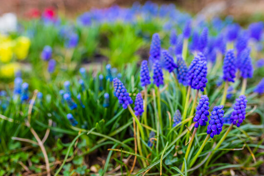 Blue Muscari flowers close up. A group of Grape hyacinth (Muscari armeniacum) blooming in the spring