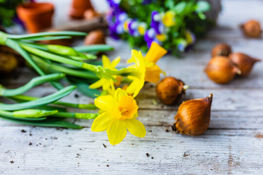 Yellow daffodil flowers and spring flower bulbs on a wooden background.
