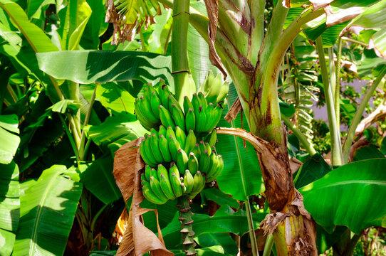 bananas plantation, bunch of green bananas.
