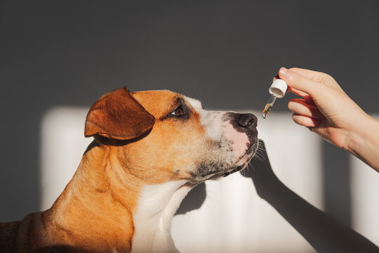 Dog taking essential oil from dropper. Nutritional supplements, calming products, cbd or thd oils for pets