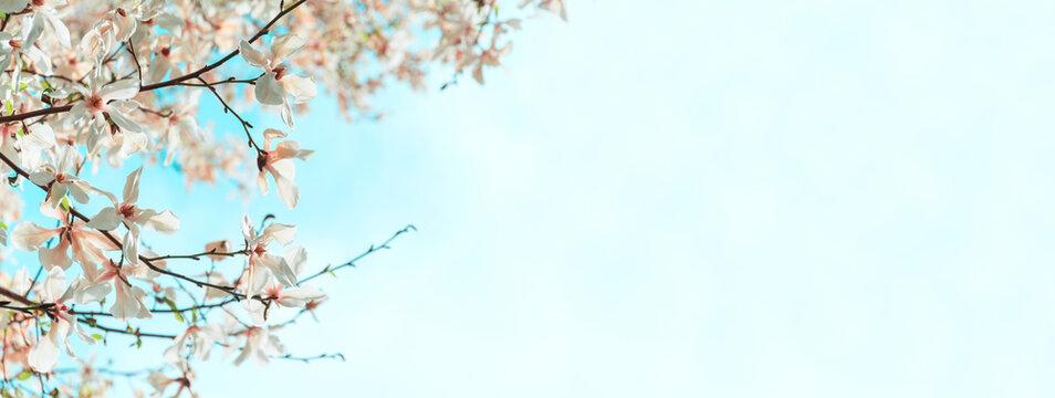 Banner. Magnolia flowers on tree against blue sky. Spring background. Soft focus