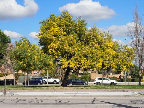 arbol de flores amarillas en zona urbana acacia