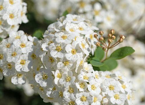 Blühender Spierstrauch, Spiraea, im Frühling