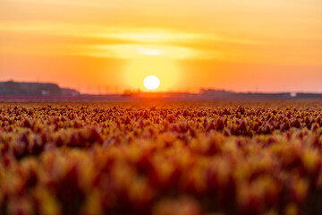Fields of blooming red tulips at sunrise. Beautiful outdoor scenery in Netherlands, Europe.